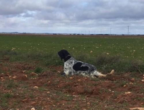 Mejor perro de las selectivas de caza práctica